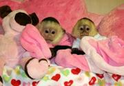Amale and femalae babies capuchin monkeys