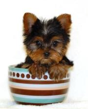 Adorable Gorgeous  male and Female Teacup Yorkie Puppies For Adoption