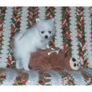 Beautiful Pomeranian Puppies Ready For New Homes!