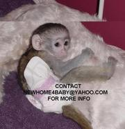 HAND FED BABY CAPUCHIN MONKEYS FOR ADOPTION