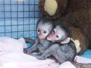 Healthy charming capuchin monkeys for adoption
